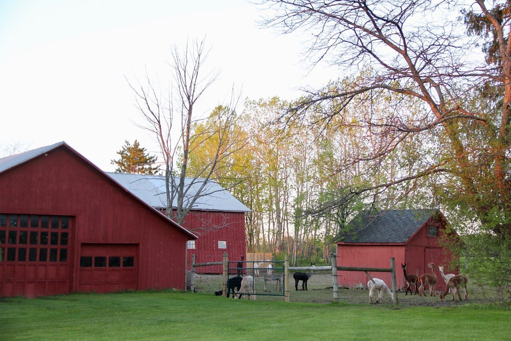 Hillcrest Farm, Hillcrest Alpaca Farm, Upstate NY Alpacas, Upstate NY, Alpacas, Alpaca, Alpaca Farm NY