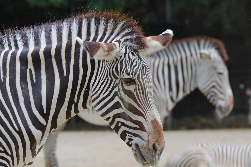St Louis Zoo, Zoo St Louis, zebras, zebra