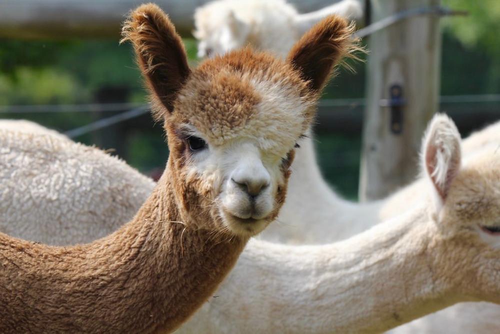 Hillcrest Farm, Hillcrest Alpaca Farm, Upstate NY, Upstate Ny Alpaca Farm, Alpacas, Alpaca