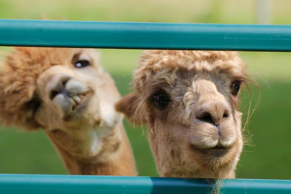 Hillcrest Farm, Hillcrest Alpaca Farm, Sauquoit NY, Alpacas, Alpaca