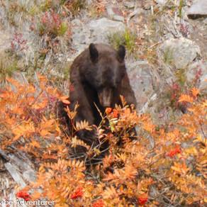 Bear Encounter In Yellowstone, USA