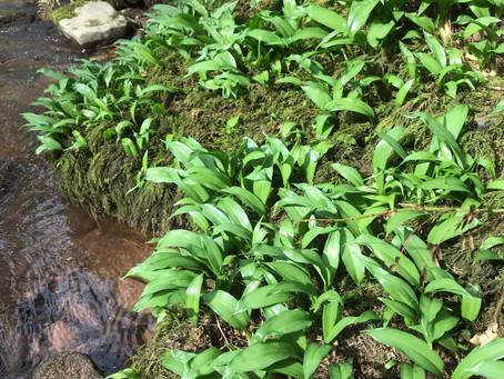 It's wild garlic season - foraging and feasting!
