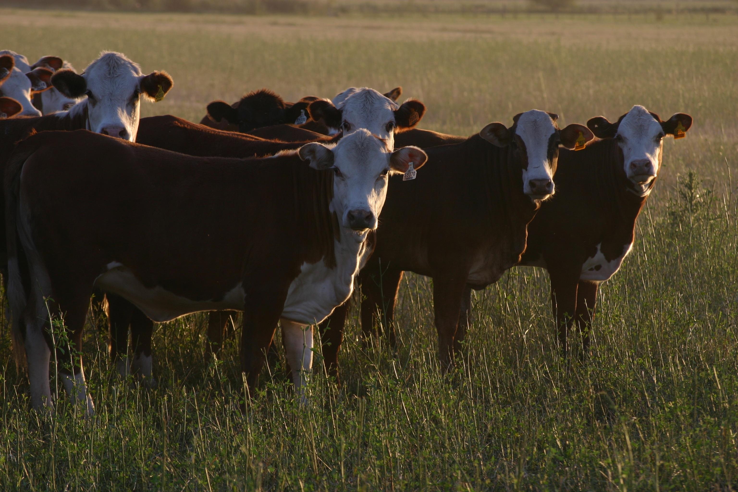 cows-1233889
