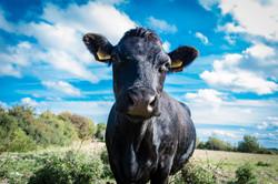 cow-1911243