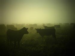 cows-545458