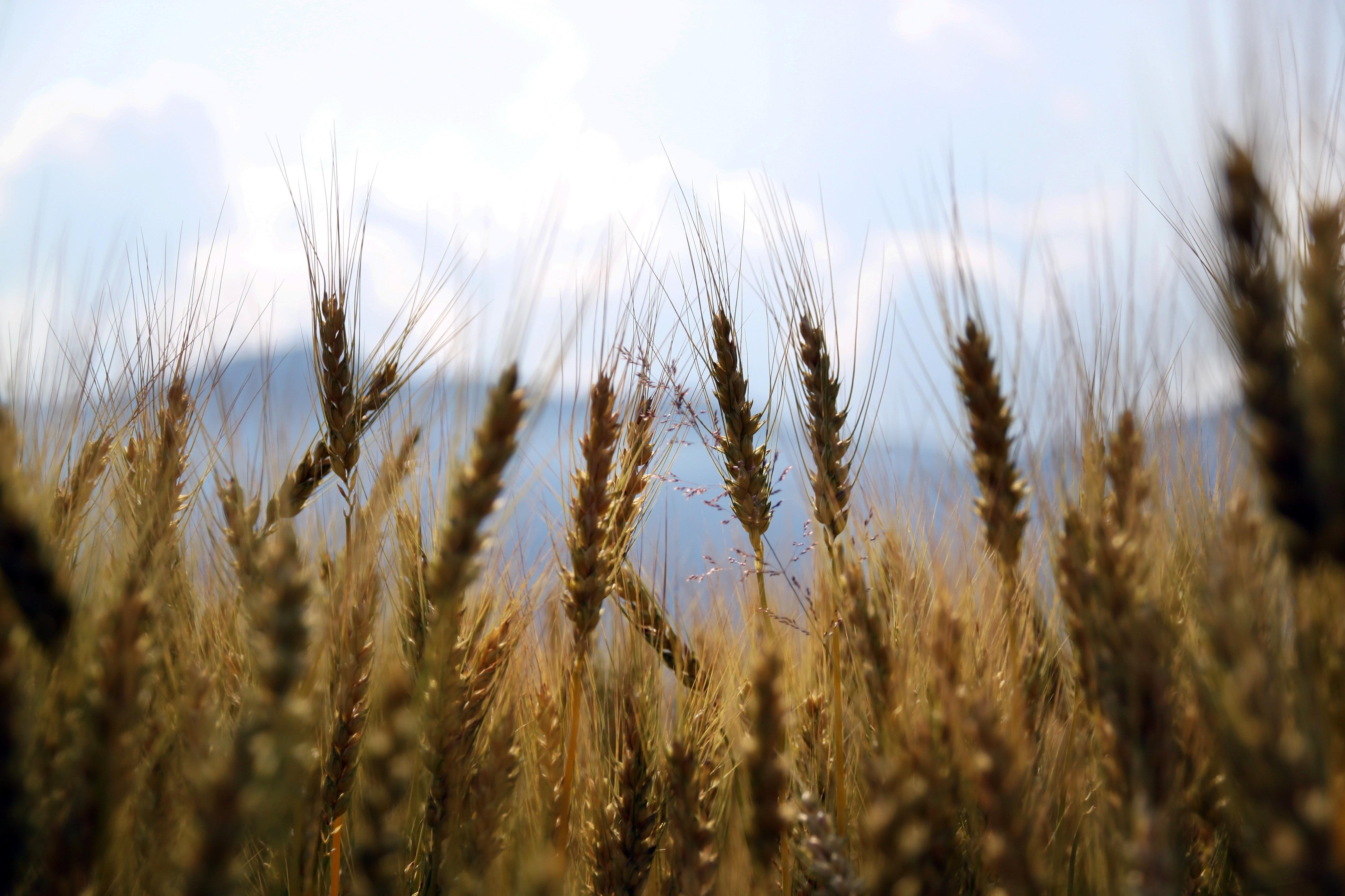 wheat-1149885