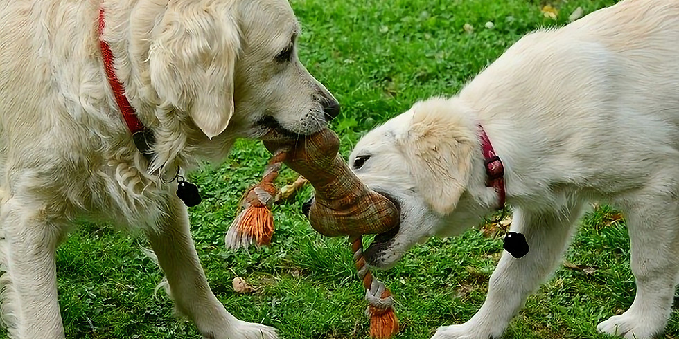 Labs and Retrievers Socialisation