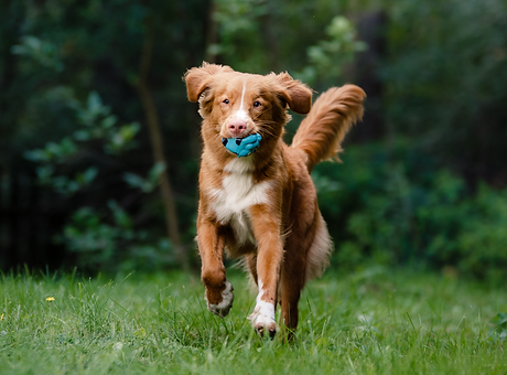 Toller with toy.png