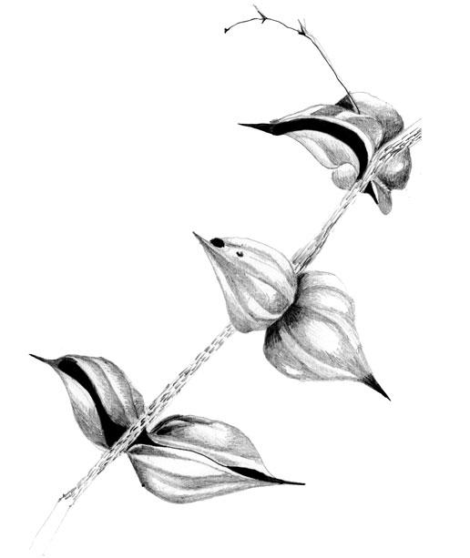 Acacia Cucharita
