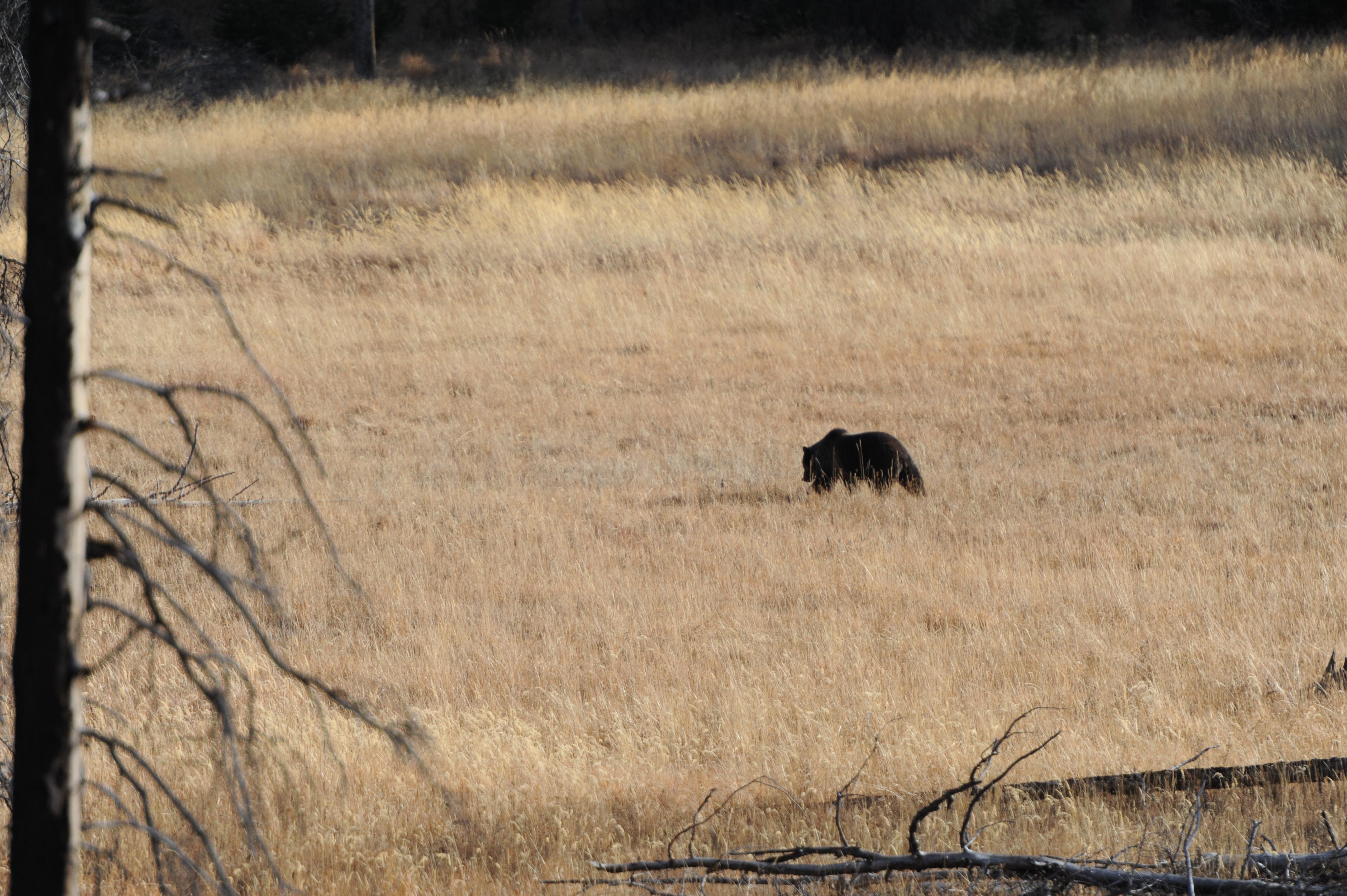 Grizzly+bear+in+field.JPG