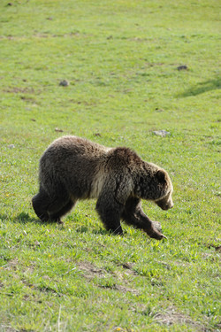 Grizzly+walking.JPG