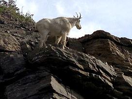 Mountain goat closeup.jpg
