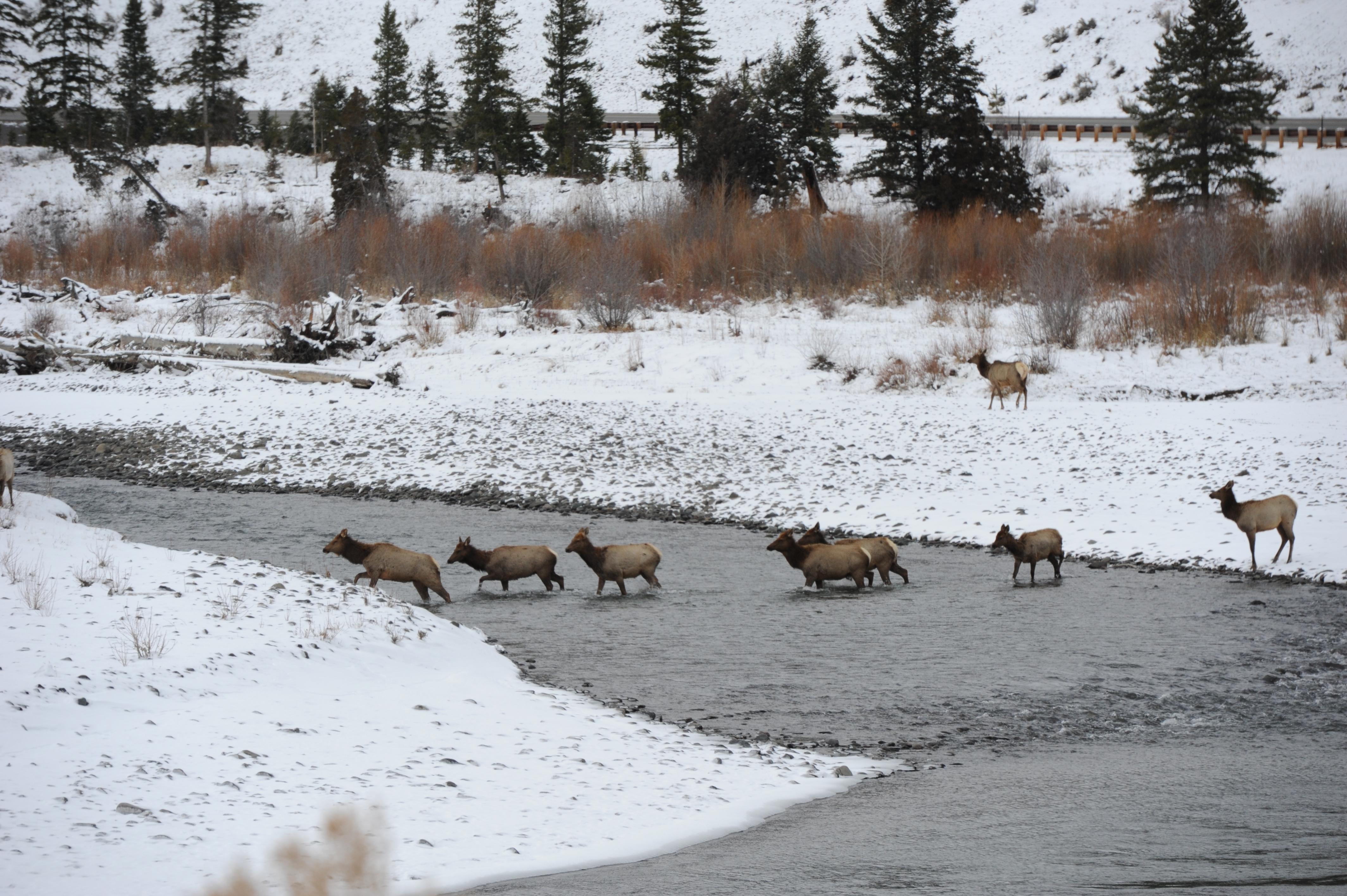 Elk+crossing+river.jpg