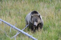 Grizzly+Bear.jpg