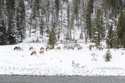 Elk+grazing+in+snow.JPG