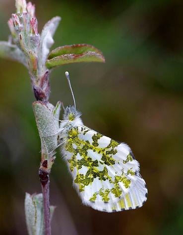 """Image extraite du livre """"Papillons du Jura"""""""