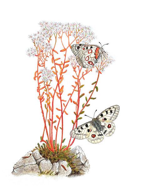 """Aquarelle extraite du livre """"Papillons du Jura"""""""