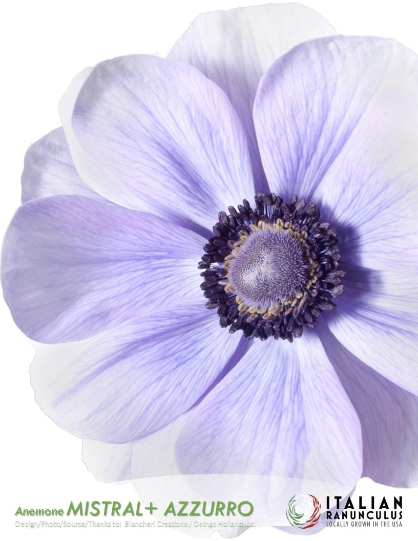 Anemone Mistral+ Azzurro