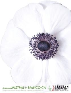 Anemone Mistral+ Bianco Centro Nero