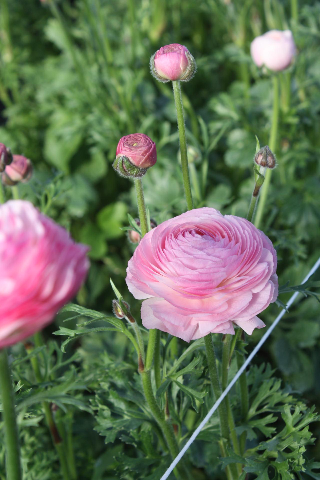 Cloni Elegance Ranunculus