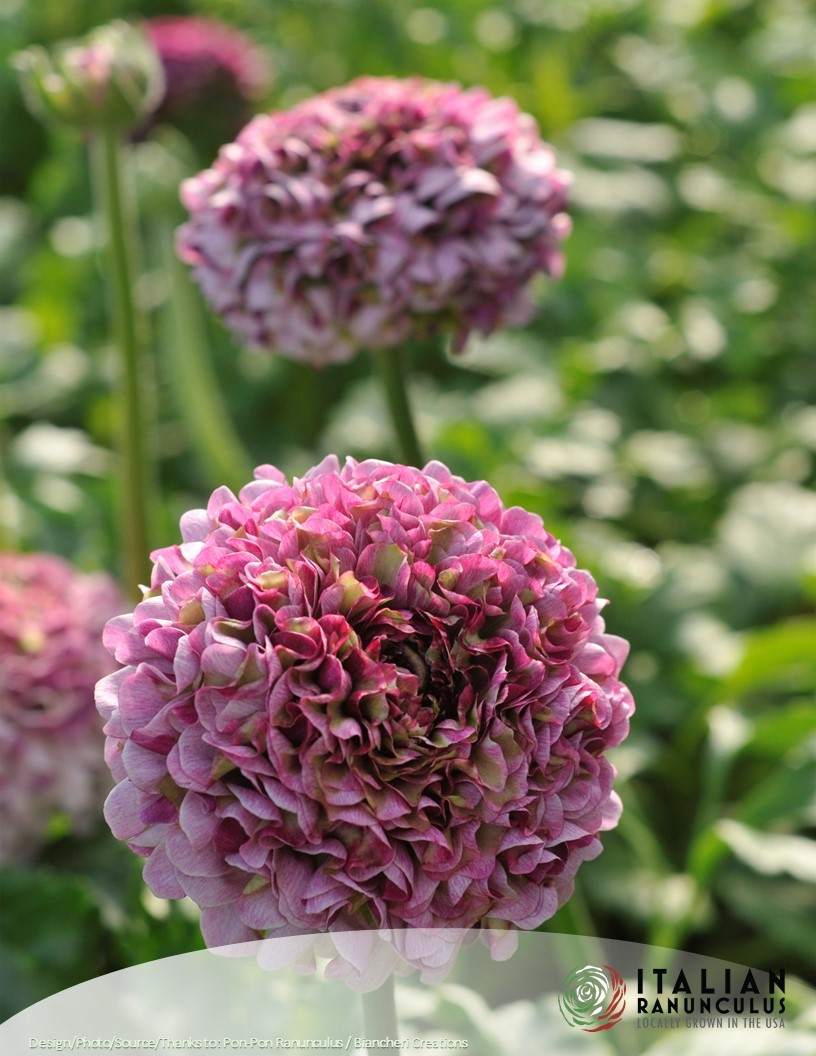 PonPon Cloni Ranunculus