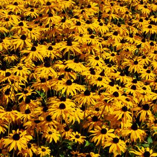 golden flower mass1.jpg