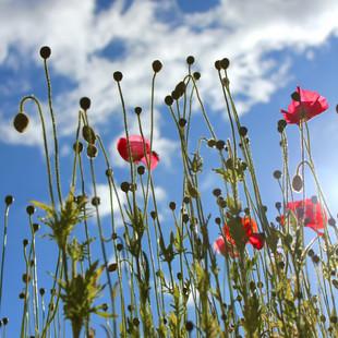 IMG_1632a poppies.jpg