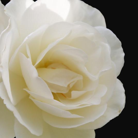 white on black rose.jpg