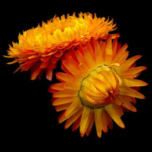 orange sunset flowers