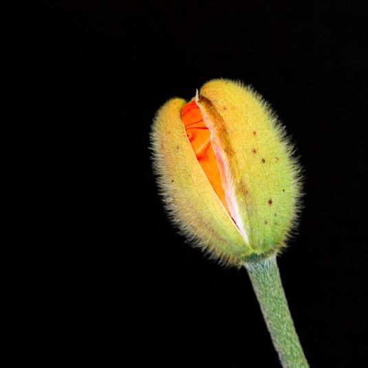 orange breaking through bud rhs april 20