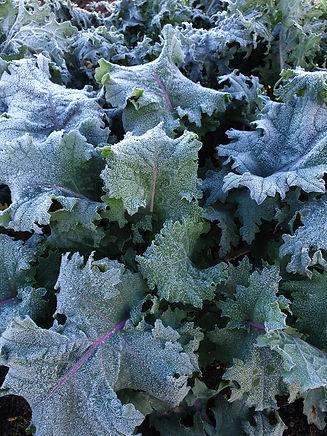 Frosty kale.jpg