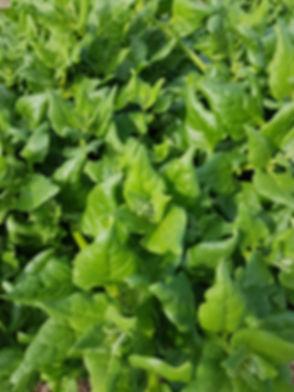 warrigal greens.jpg