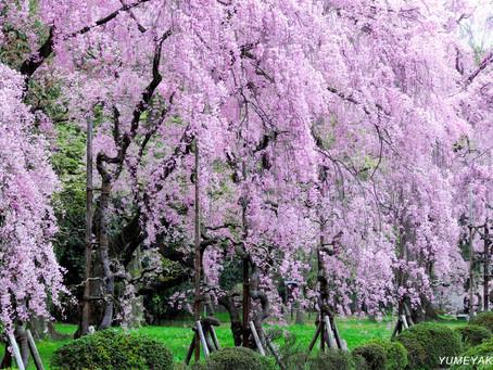 【御池別邸近く】☆二条城桜祭り&ライトアップ☆