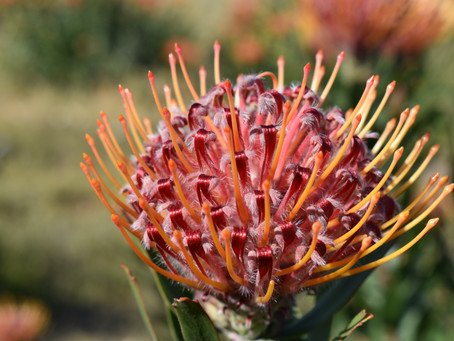 Protea Bouquets that light up the room!
