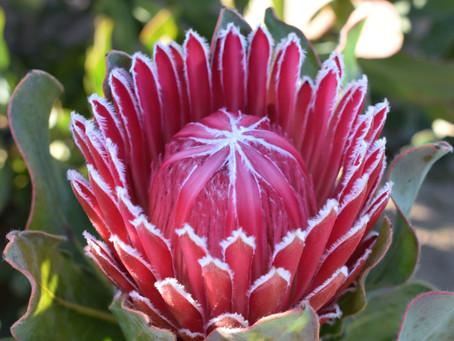 Stunning Protea Arrangements