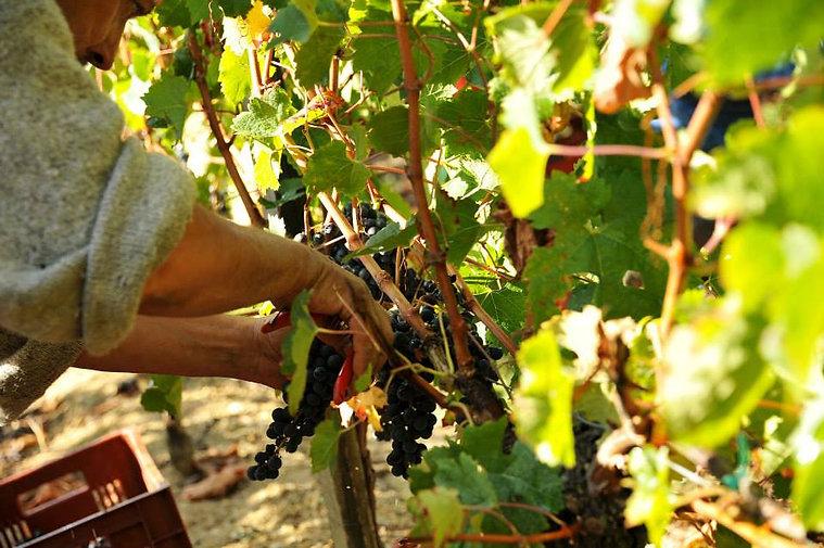 vendange vignoble château beaulieu