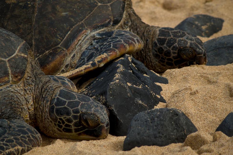 maui_turtles_2.jpg