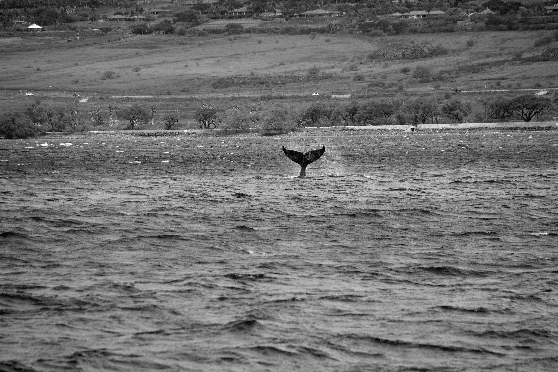 maui_whale_1.jpg