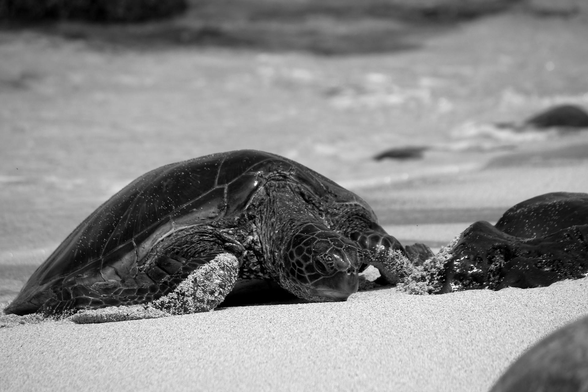 maui_turtles_4.jpg