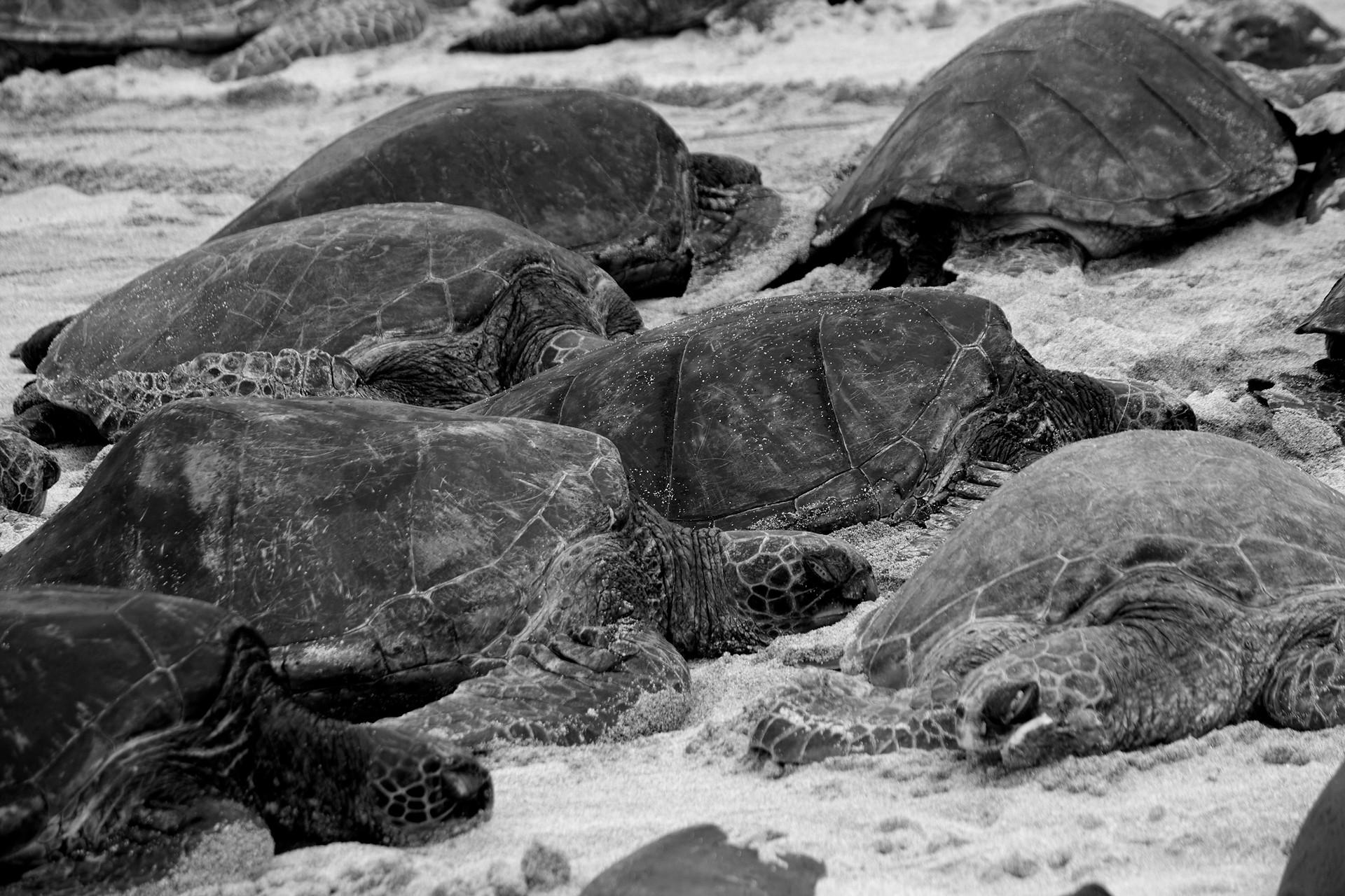maui_turtles_3_1.jpg