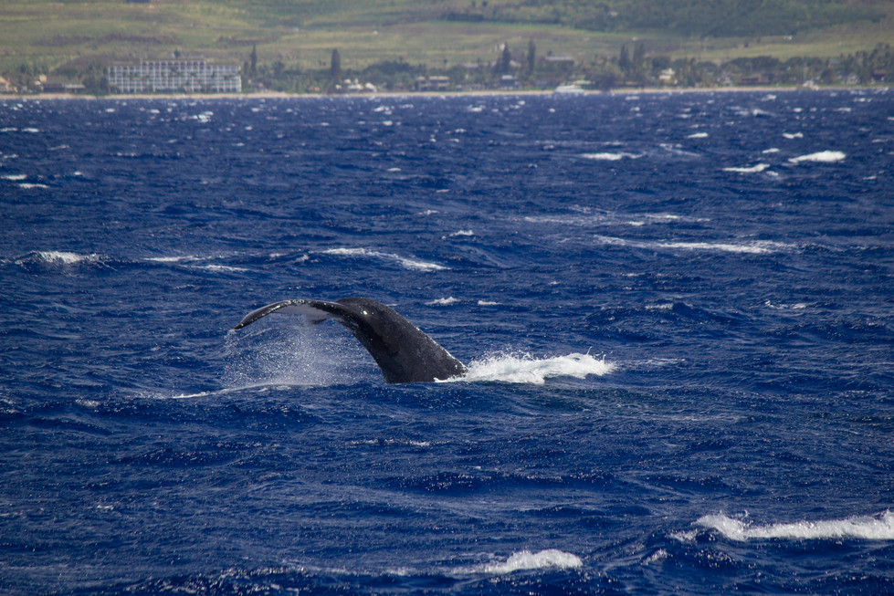 maui_whale_2.jpg