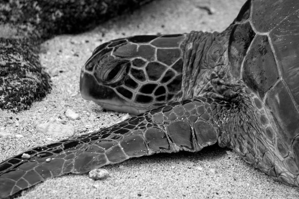 maui_turtles_5.jpg