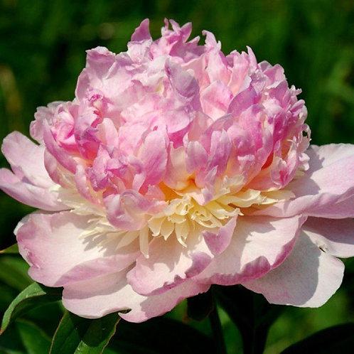 Пион Raspberry Sundae