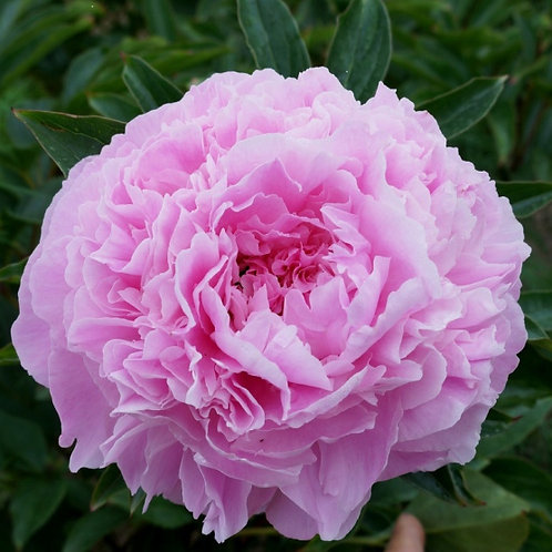 Пион Pink Giant