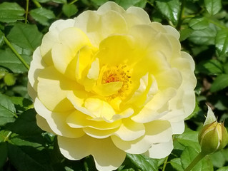Rose Tour for Inspiration - End of June
