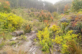 Strategic weed management in native forest regrowth