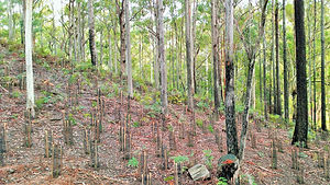 Understorey planting under established forest canopy