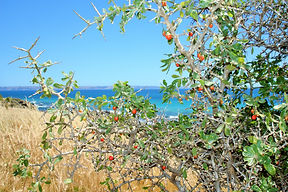 African Boxthorn growing within a coastal reserve