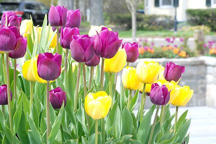 purple yellow tulips2.jpg