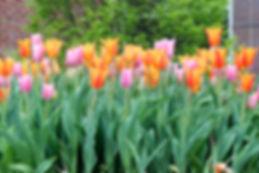 Town Hall tulips.jpg